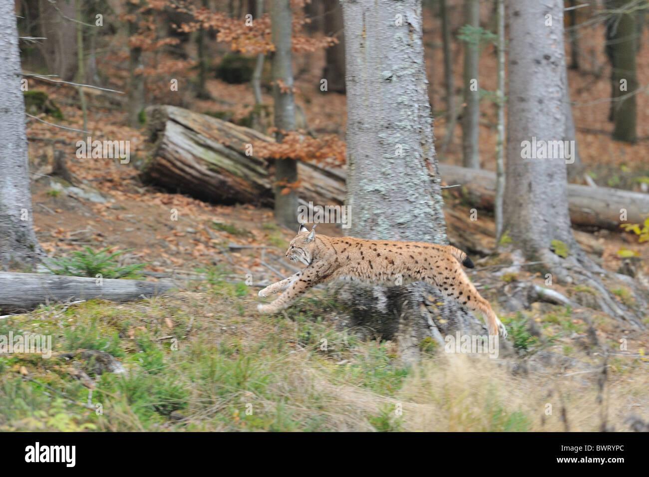 Eurasian lynx - European lynx (Lynx lynx) running (sequence 2/4) - Bavarian Forest (Bayerischer Wald) - Sumava NP - Stock Image