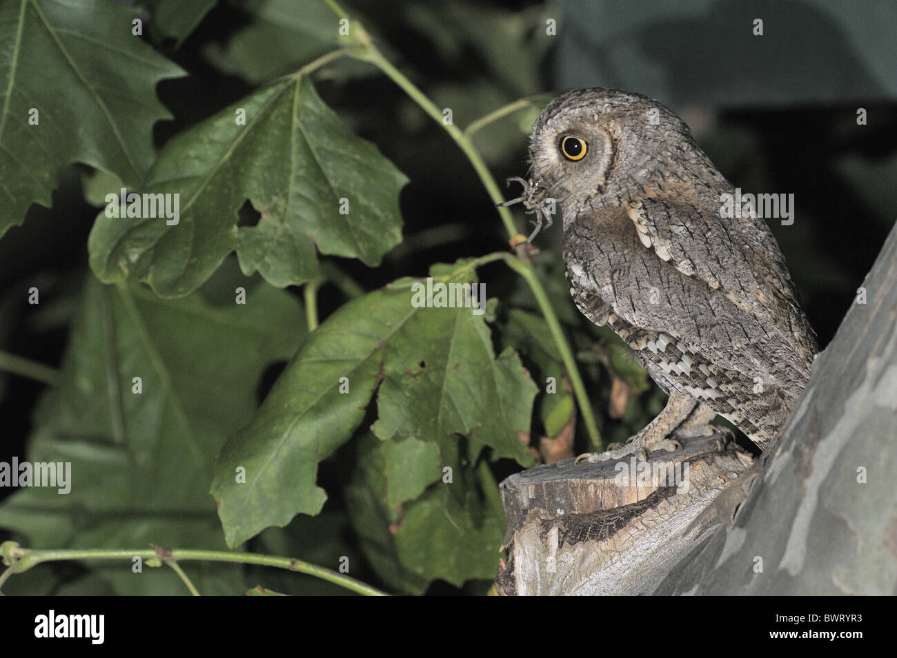 Scops owl - Eurasian scops owl - European scops owl (Otus scops) bringing prey  to feed its chicks waiting in a - Stock Image