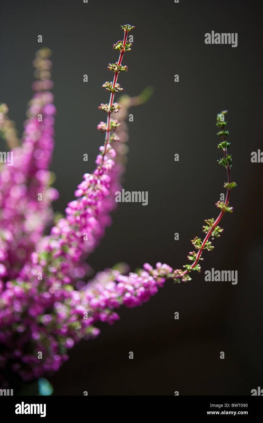 stems of purple holiday heather plant, Erica carnea Myretoun Ruby - Stock Image