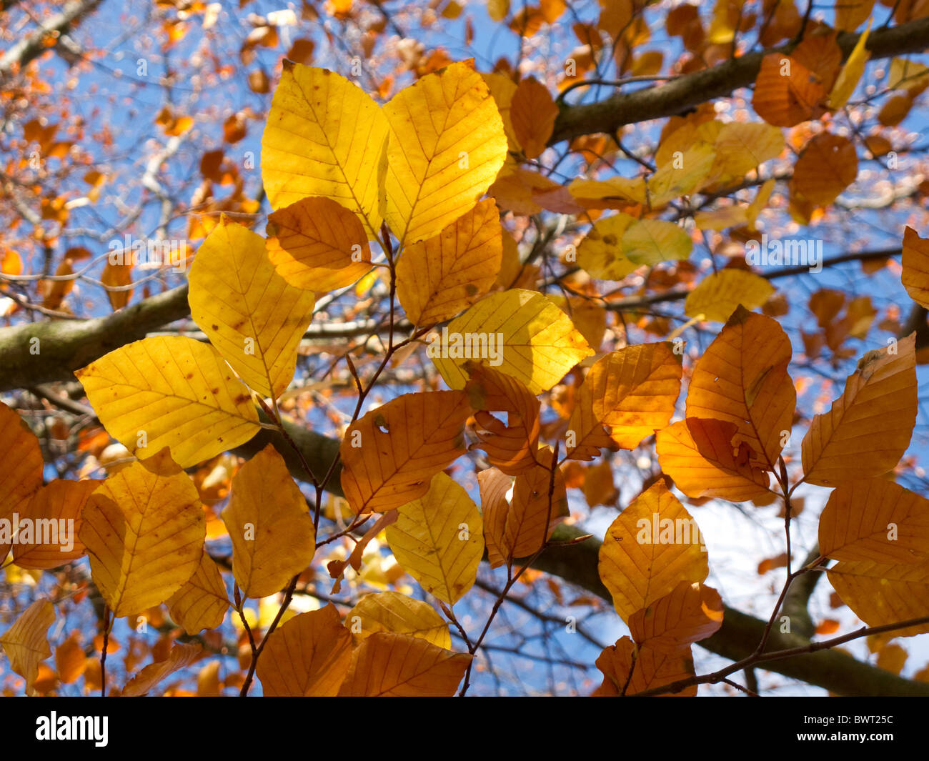The sun shines trough beech leaves showing their Autumn colour - Stock Image