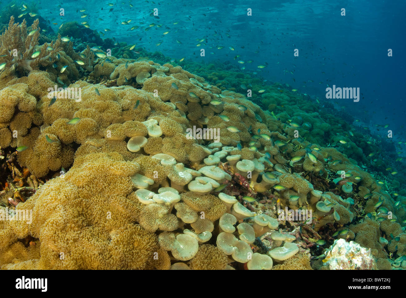 Reef scenic with leather softcorals Raja Ampat Indonesia - Stock Image