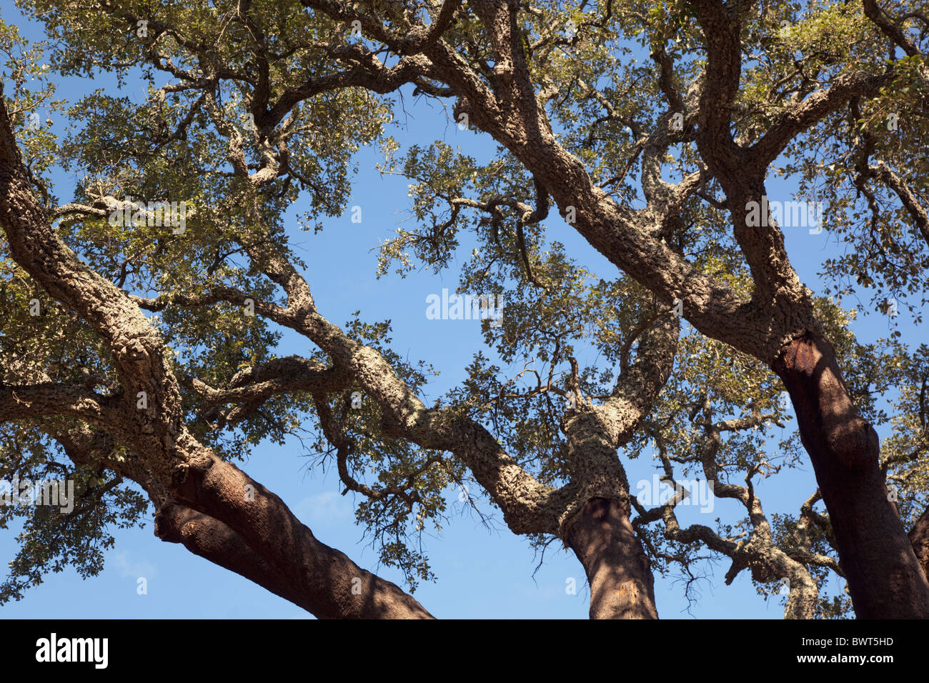 Branches of Cork Oak trees, Quercus suber, near Castellar de la Frontera, Cadiz Province, Spain. - Stock Image