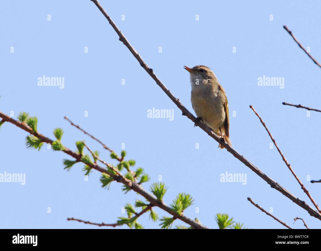 bird birds animal animals warbler warblers asia asian china chinese endemic wildlife nature passerine passerines Stock Photo