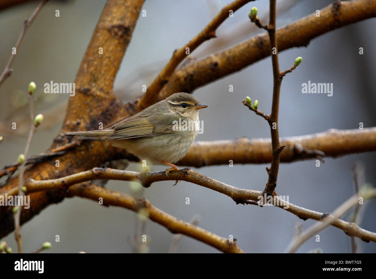 "bird birds animal animals warbler warblers asia asian wildlife nature passerine passerines ""old world warbler"" songbird Stock Photo"