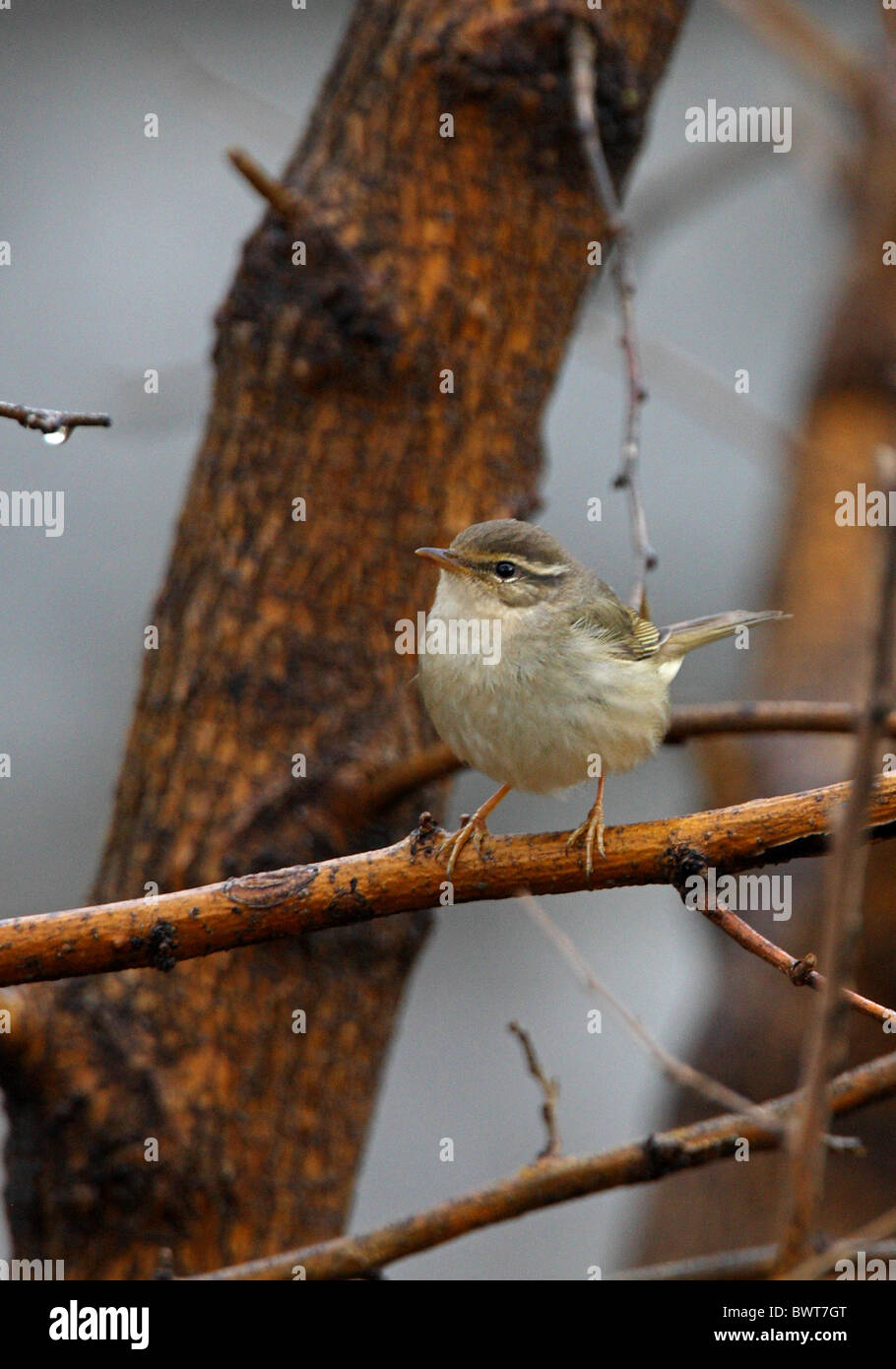"bird birds animal animals warbler warblers asia asian wildlife nature passerine passerines ""old world warbler"" songbird Stock Photo"