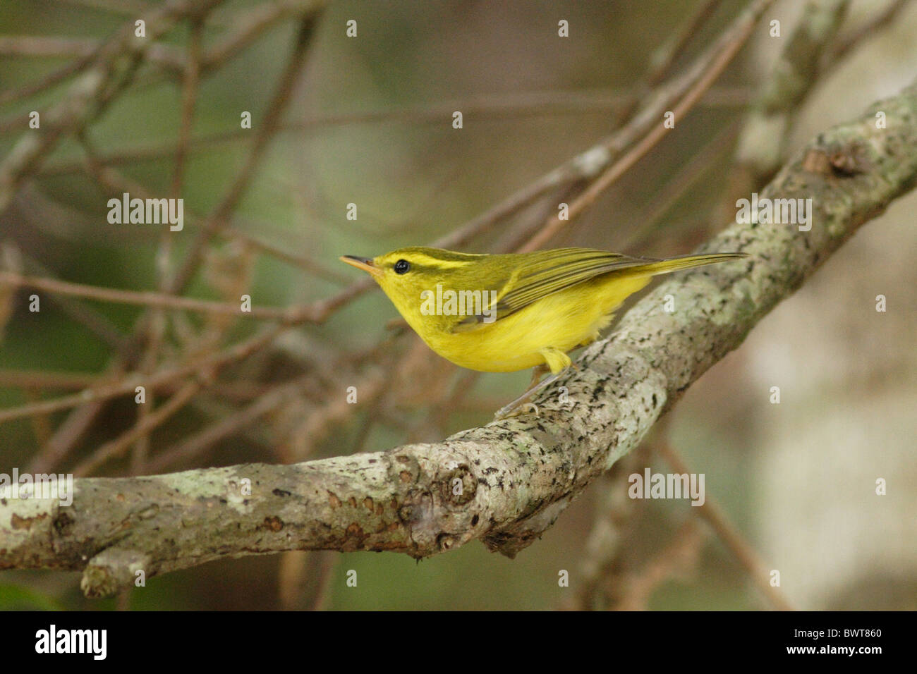 Hainan Endemic China yellow colourful bird birds animal animals warbler warblers asia asian wildlife nature passerine Stock Photo