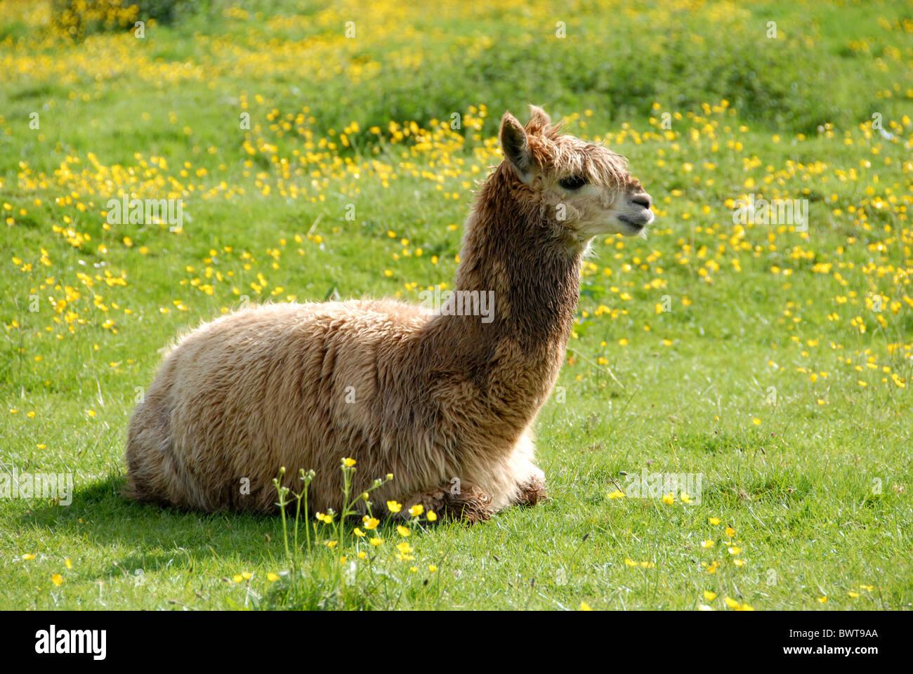 Aplaca lama pacos domestic pet meadow grass buttercups wool herbivore alpaca alpacas camelidae domestic domesticated - Stock Image