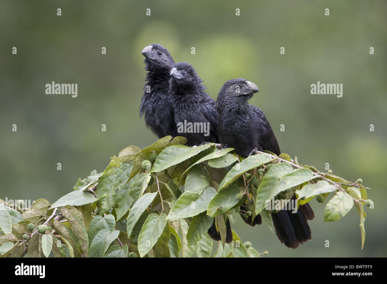 Groove-billed Ani (Crotophaga sulcirostris) three adults, perched on branch, Cayo District, Belize - Stock Image