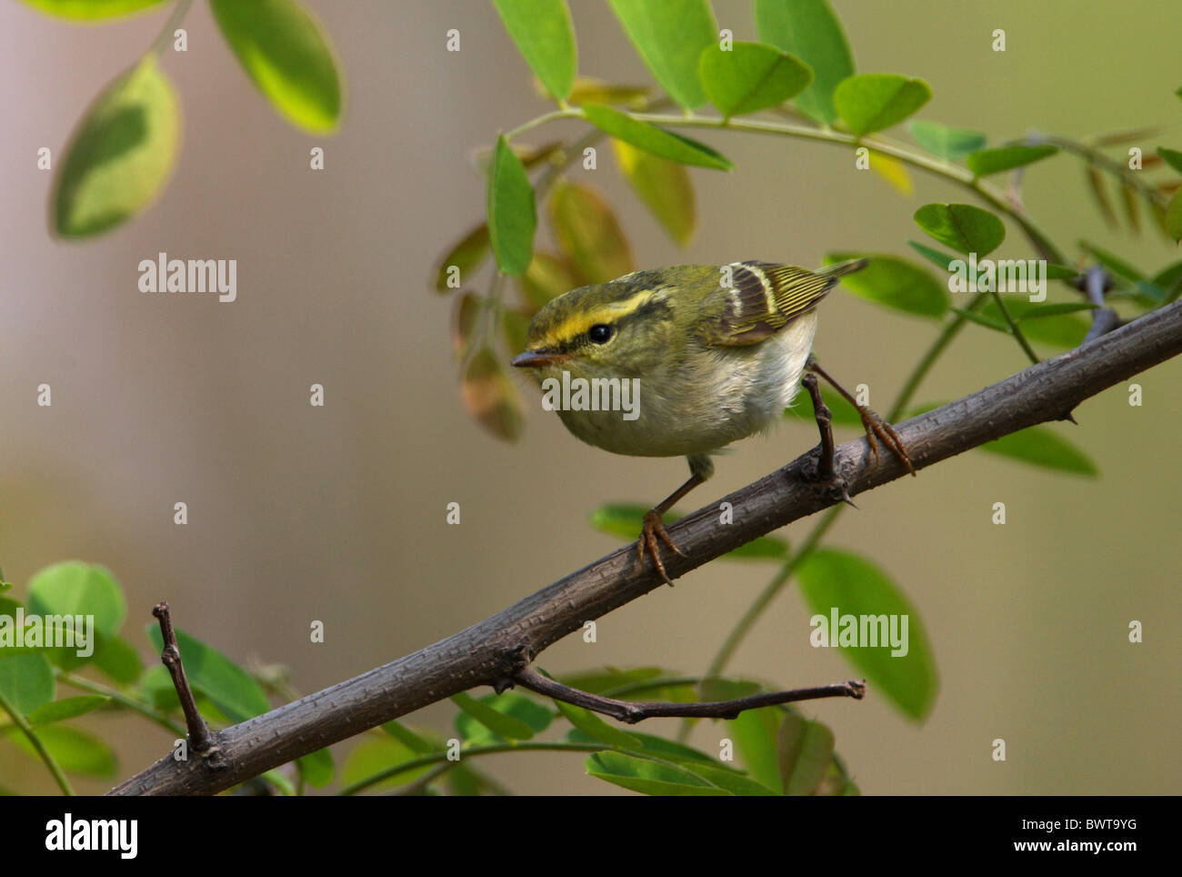 Pallas's Warbler (Phylloscopus proregulus) adult, perched on twig, Hebei, China, may Stock Photo