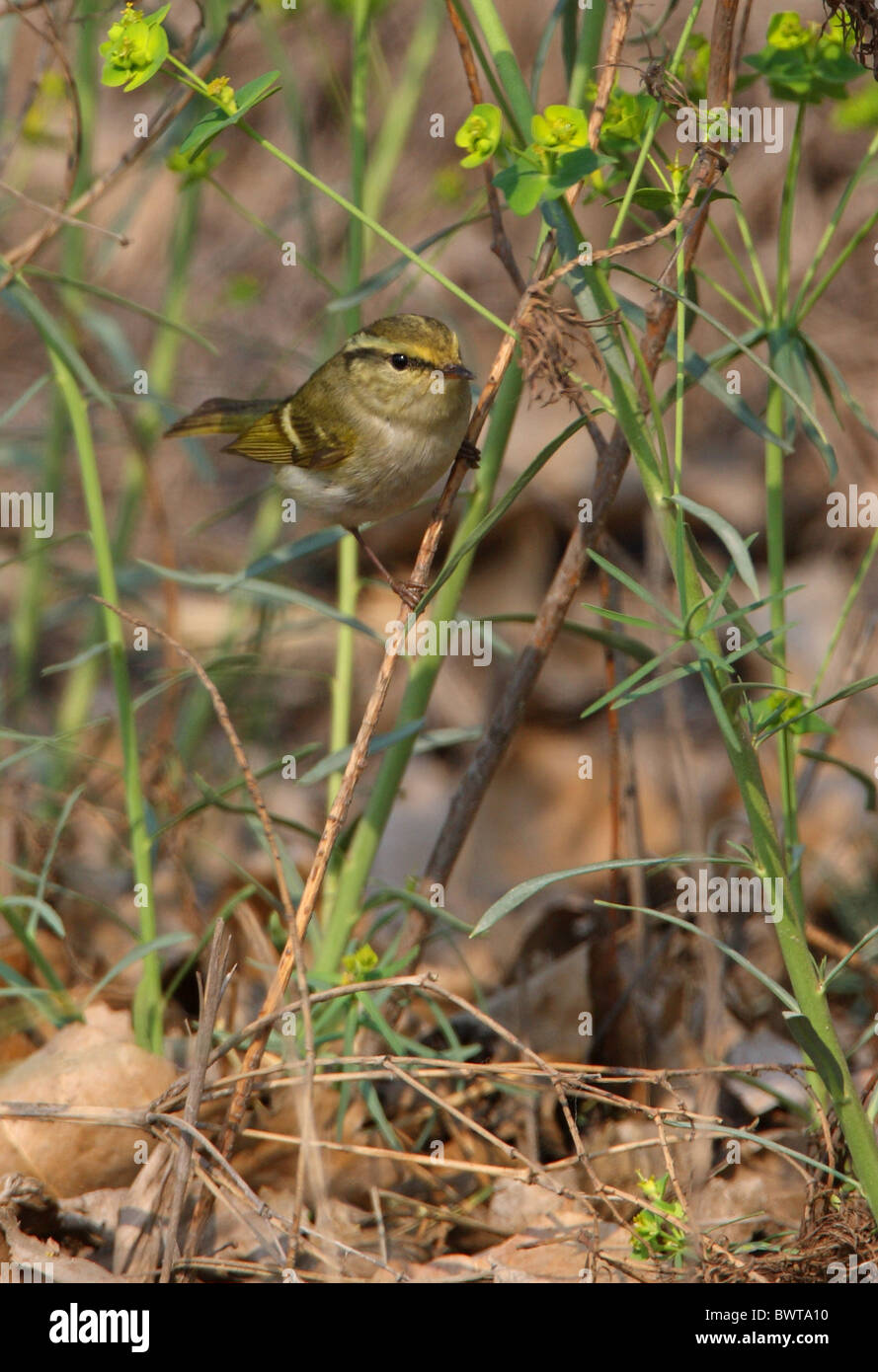 Pallas's Warbler (Phylloscopus proregulus) adult, perched in low vegetation, Hebei, China, may Stock Photo