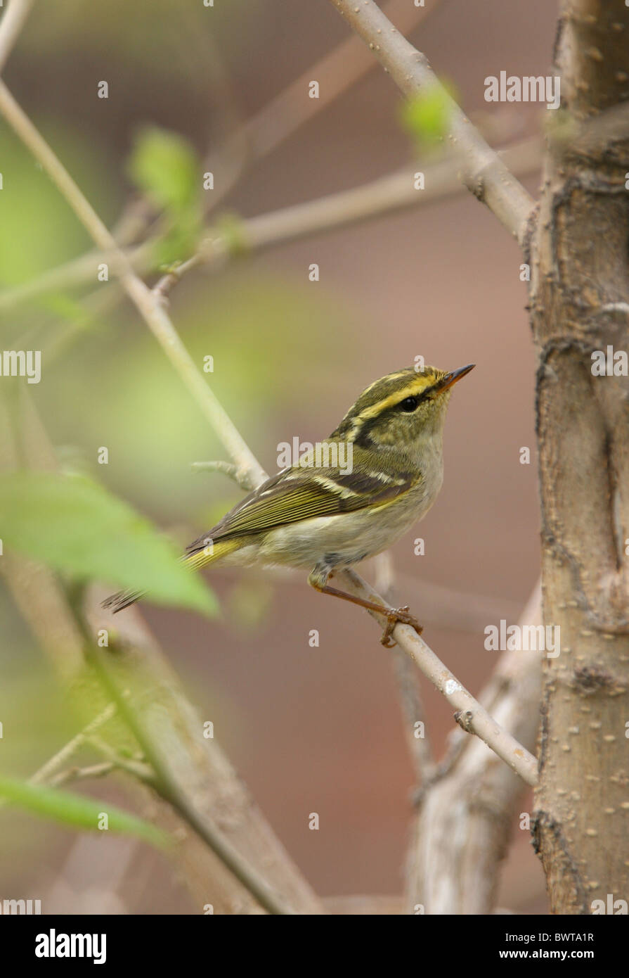 Pallas's Warbler (Phylloscopus proregulus) adult, perched in bush, Hebei, China, may Stock Photo