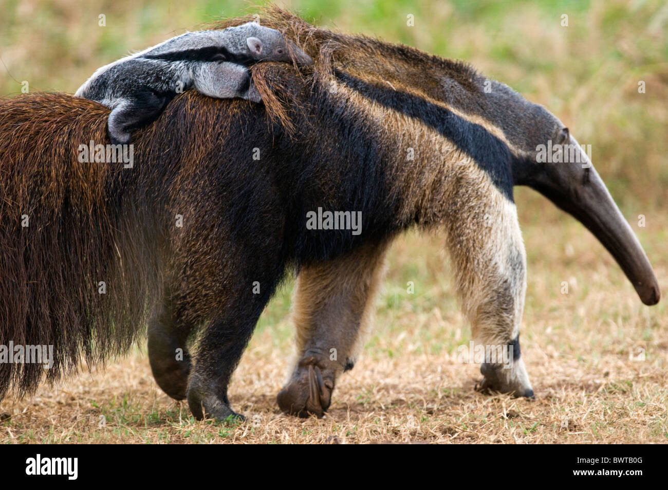 giant ant eater - Stock Image