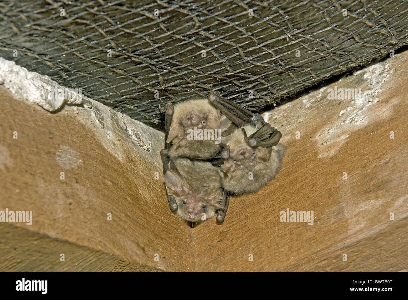 three natterer s bats myotis nattereri roosting house loft roofing