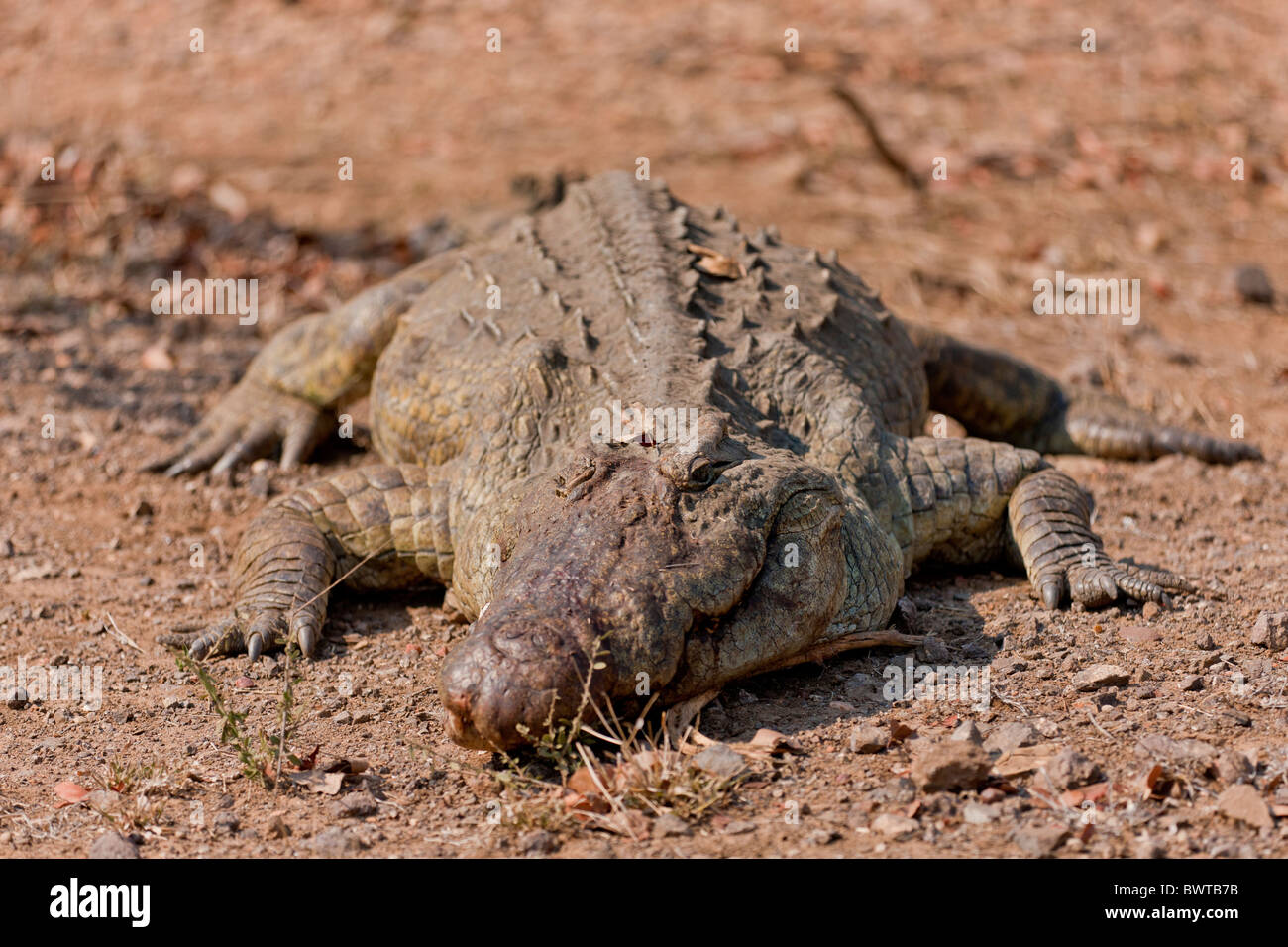 Portrait of a nile crocodile (Crocodylus niloticus) at a waterhole. The photo was taken in Kruger National Park, - Stock Photo