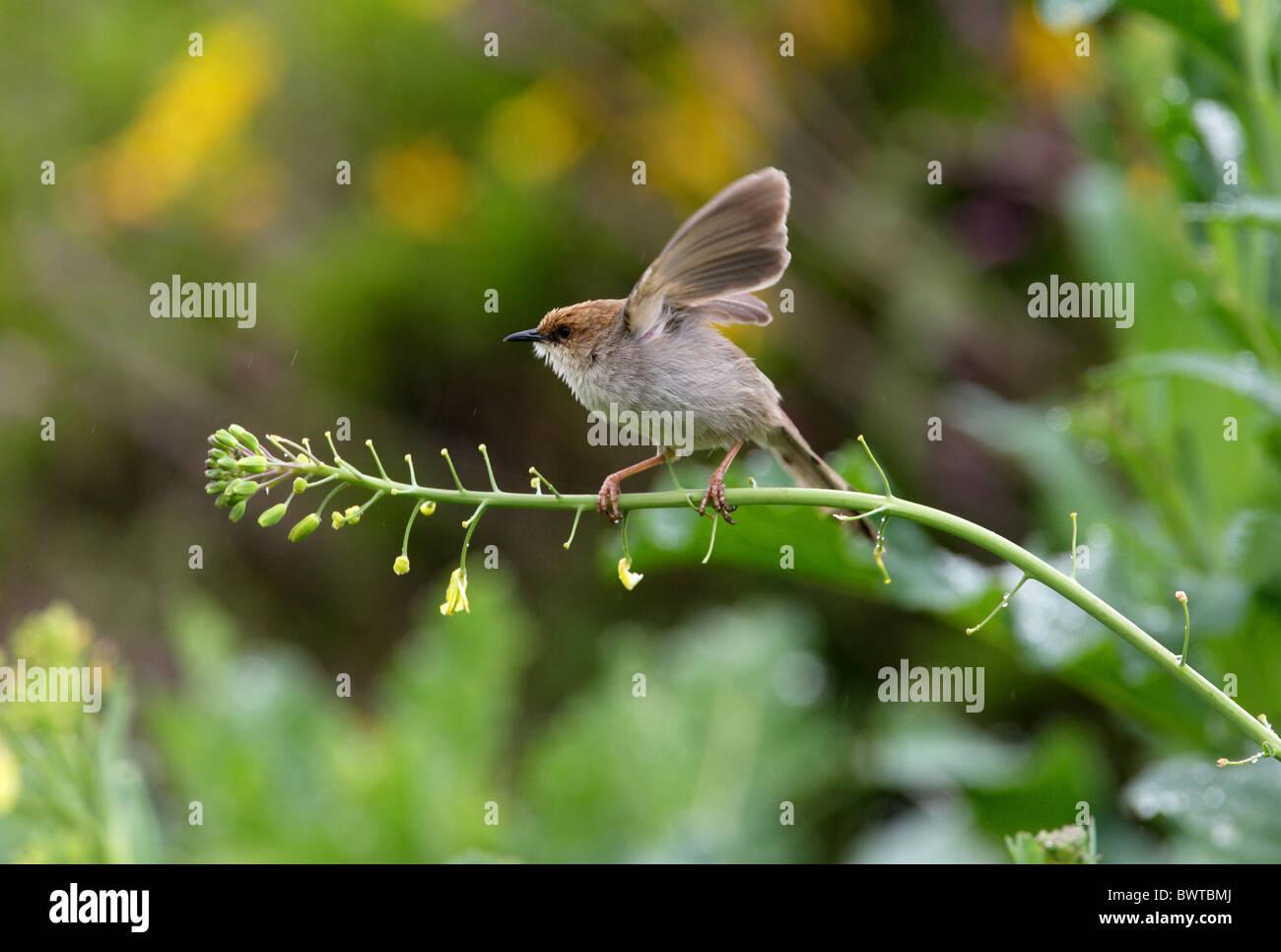 Hunter's Cisticola (Cisticola hunteri) immature, wing flapping in rain, perched on stem, Kenya, october - Stock Image