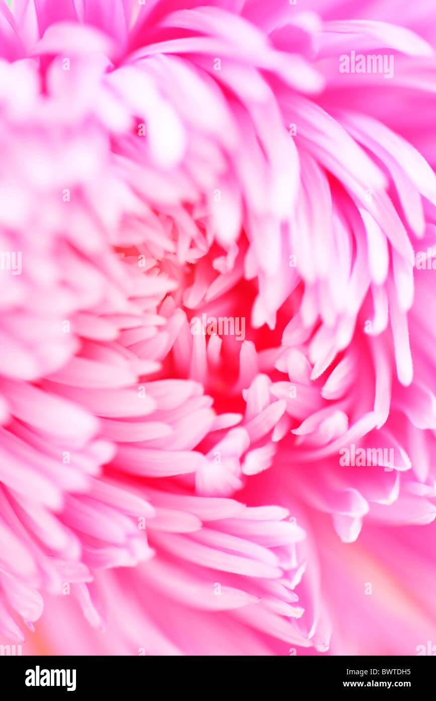 beautiful bright pink aster Jane-Ann Butler Photography JABP907 Stock Photo