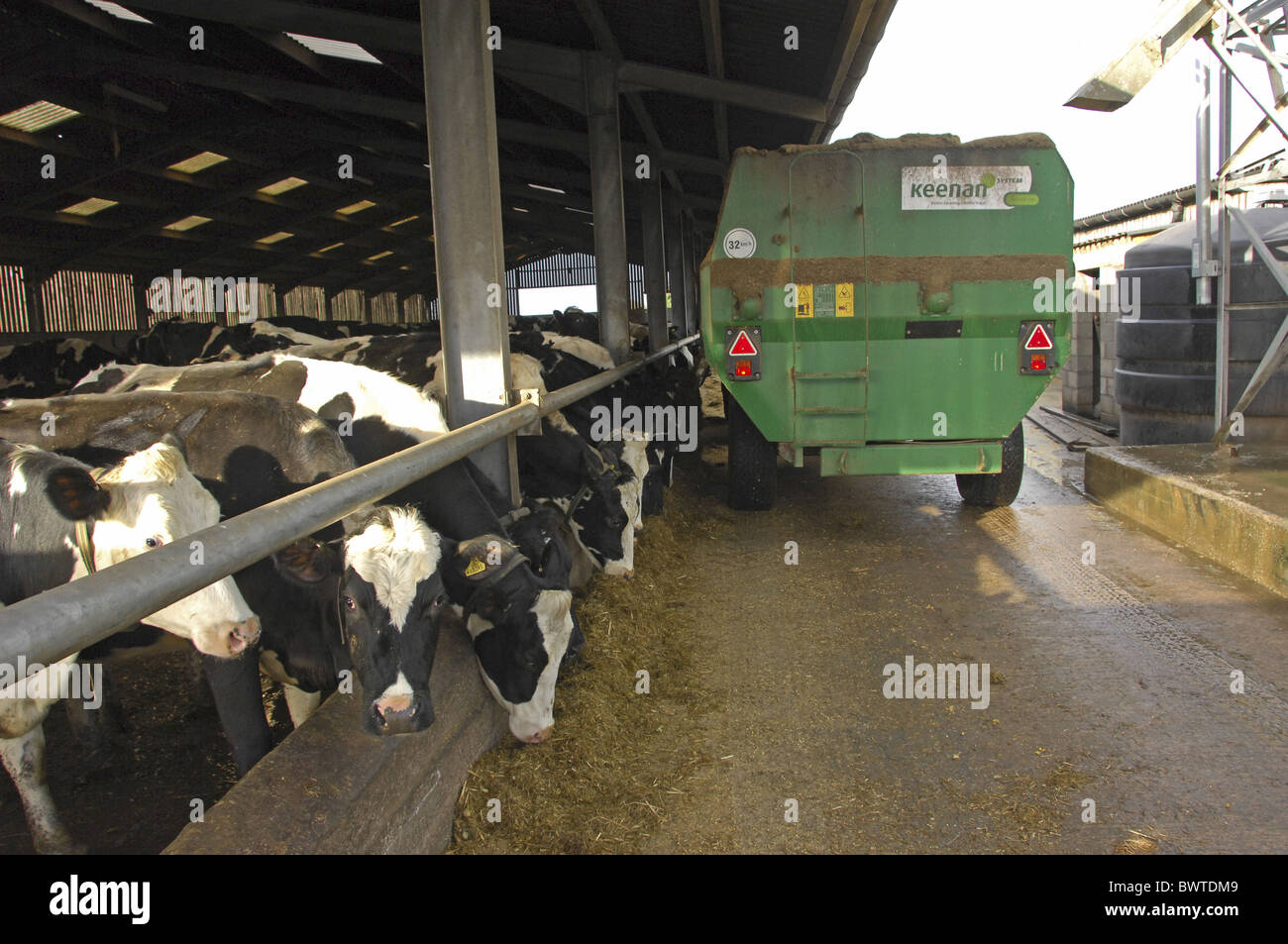 Holstein cattle feed silage feeder wagon friesian friesians holstein Stock Photo: 33114377