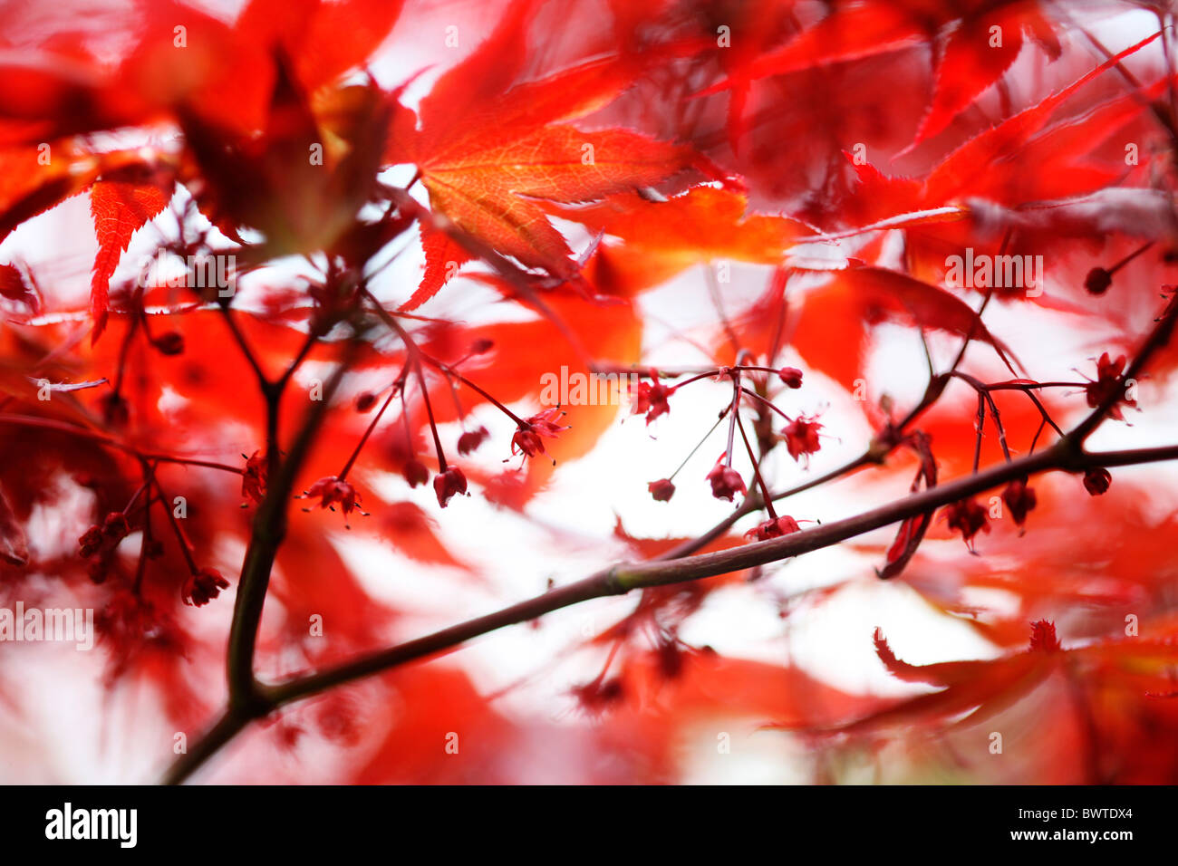 atmospheric red maple tree Jane-Ann Butler Photography JABP909 Stock Photo