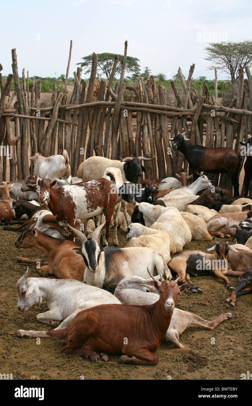 Goats In A Kraal, Arbore Tribe Village, Omo Valley, Ethiopia - Stock Image