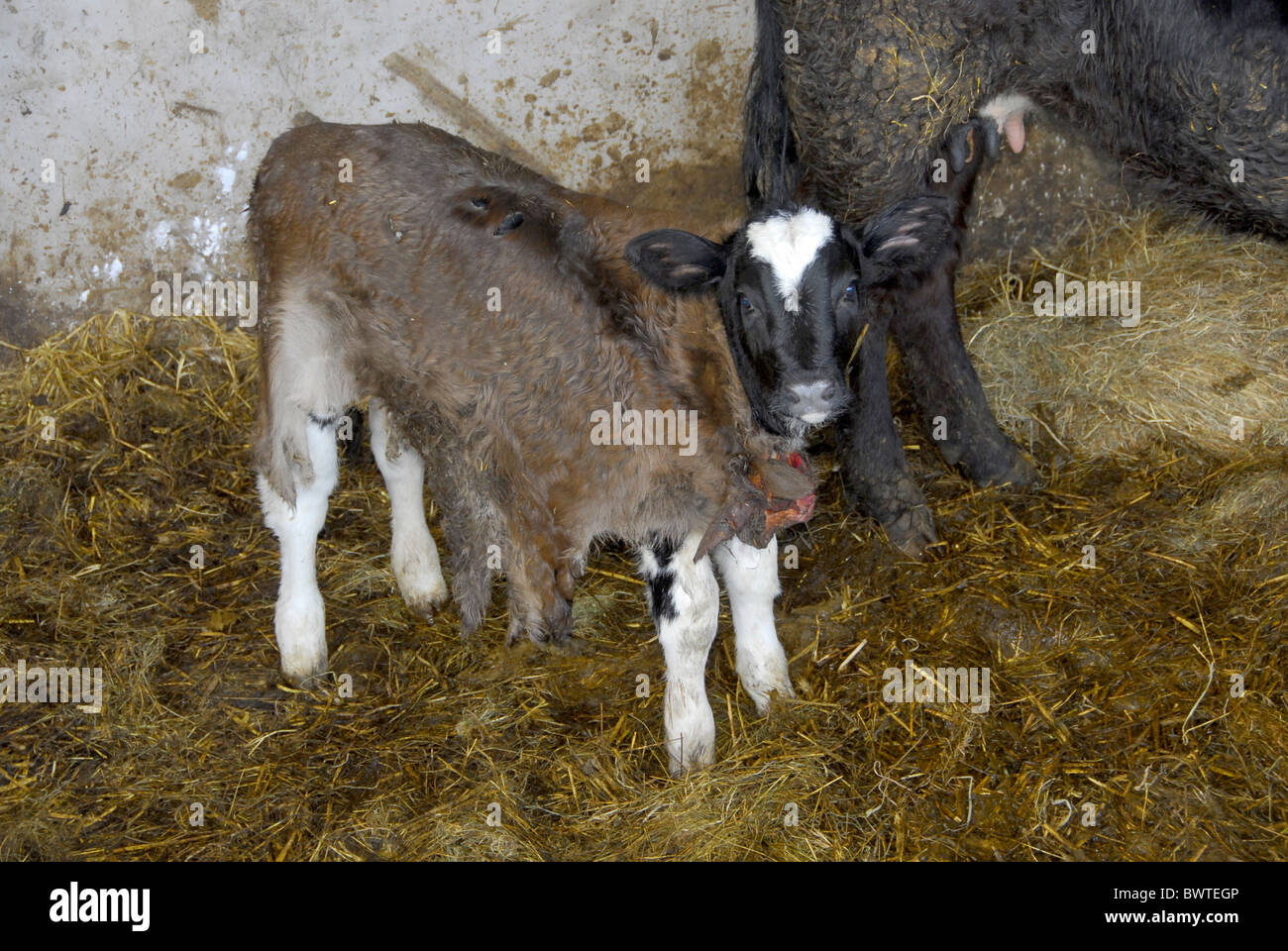 Calf skin fostering. cattle cow cows bovid bovidae domestic domesticated farm farms farming hoofed herbivore herbivores - Stock Image