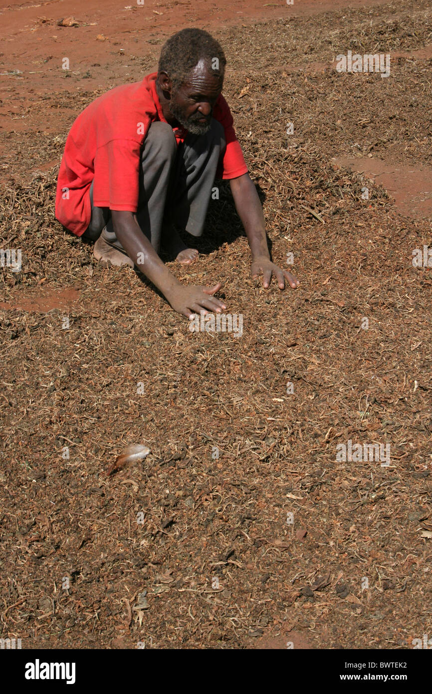 Man Sorting Tobacco at Hagere Mariam Market, Southern Ethiopia - Stock Image