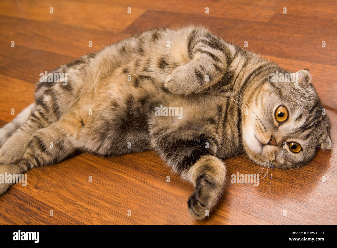 Image of cute grey cat with yellow eyes lying on the floor - Stock Image