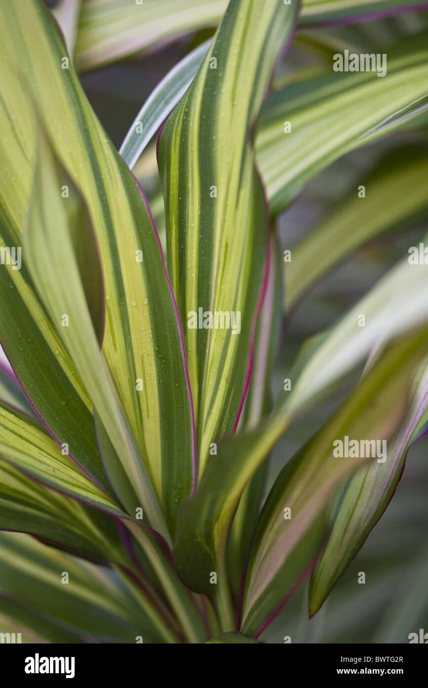 Asian plant fleshy leaves