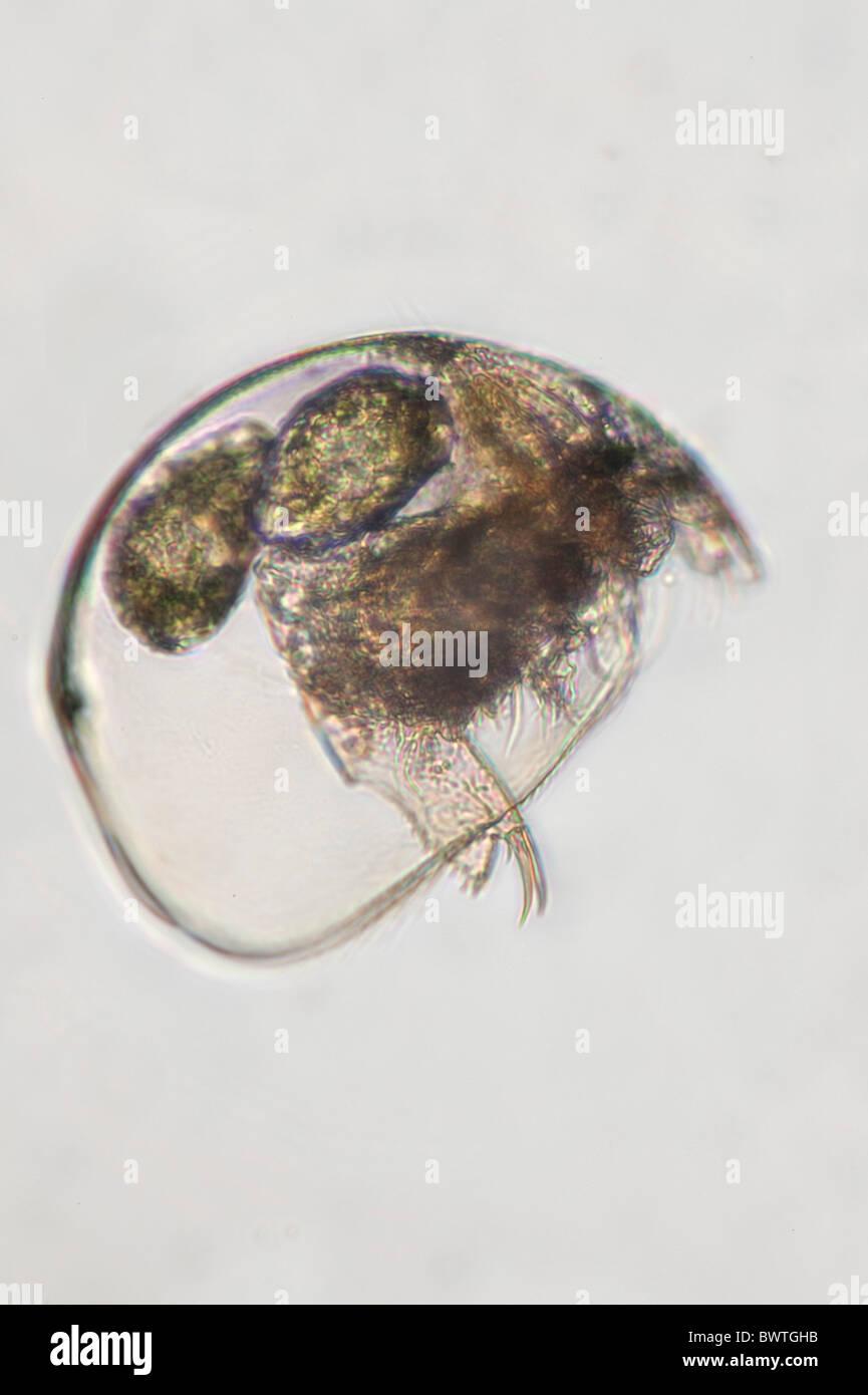 Water Flea Cladocera - Stock Image
