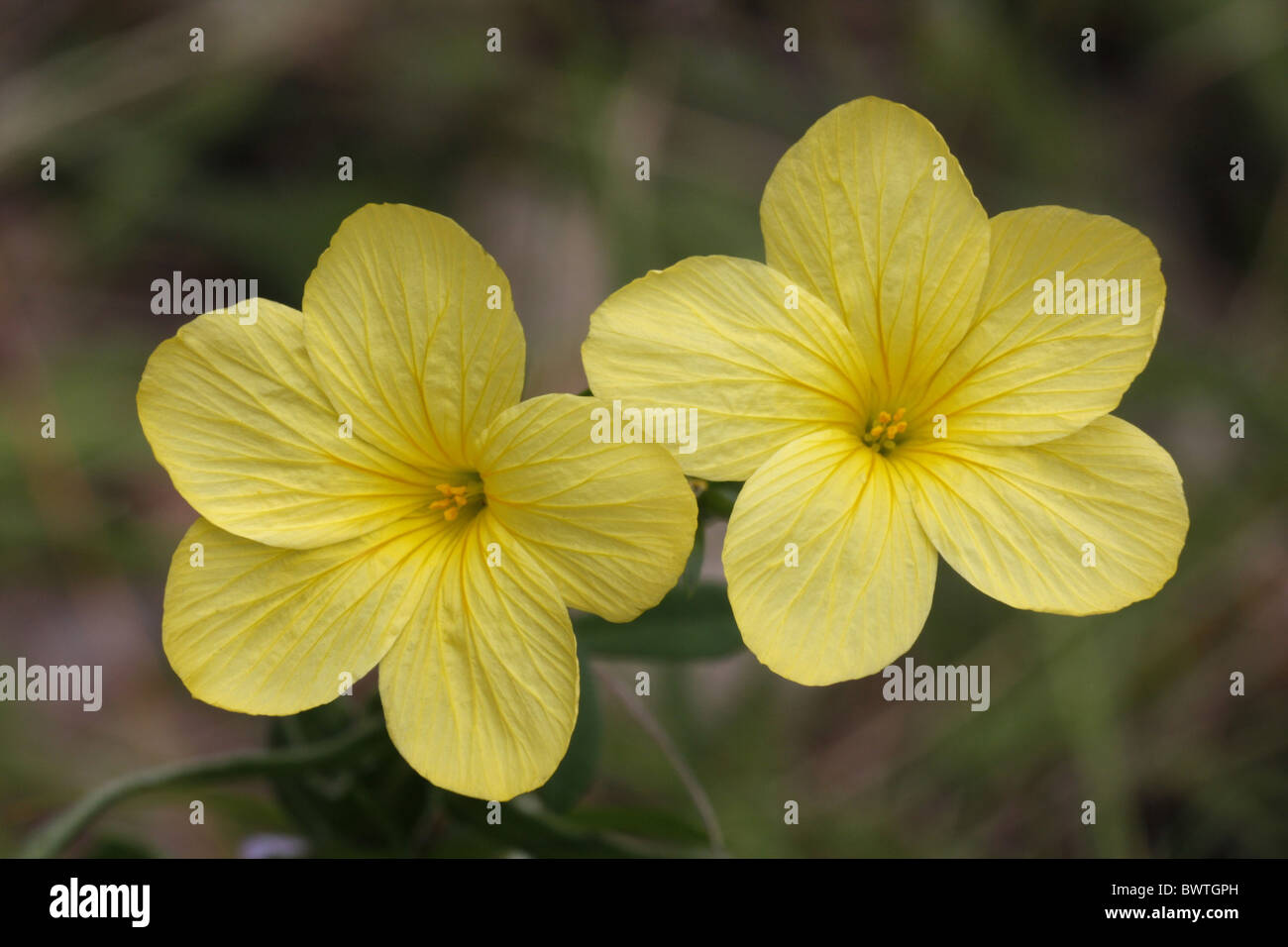 Flax flaxes linum stock photos flax flaxes linum stock images alamy yellow flax linum flavum close up flowers france stock image mightylinksfo