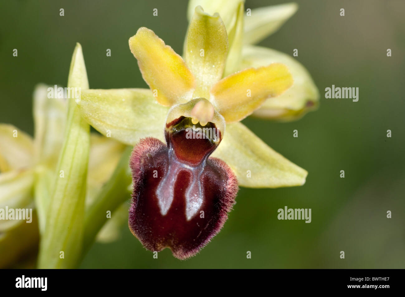 Early spider orchid Ophrys sphegodes Kent UK - Stock Image
