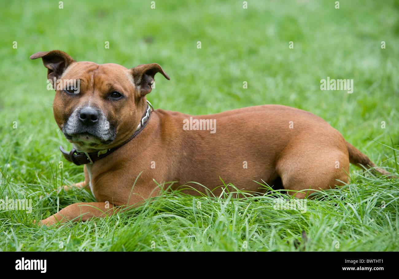 Staffordshire Bull Terrier Dog UK - Stock Image