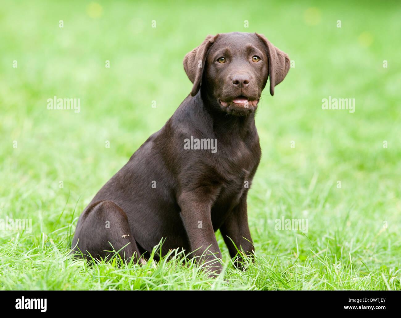 Labrador Retriever puppy UK - Stock Image