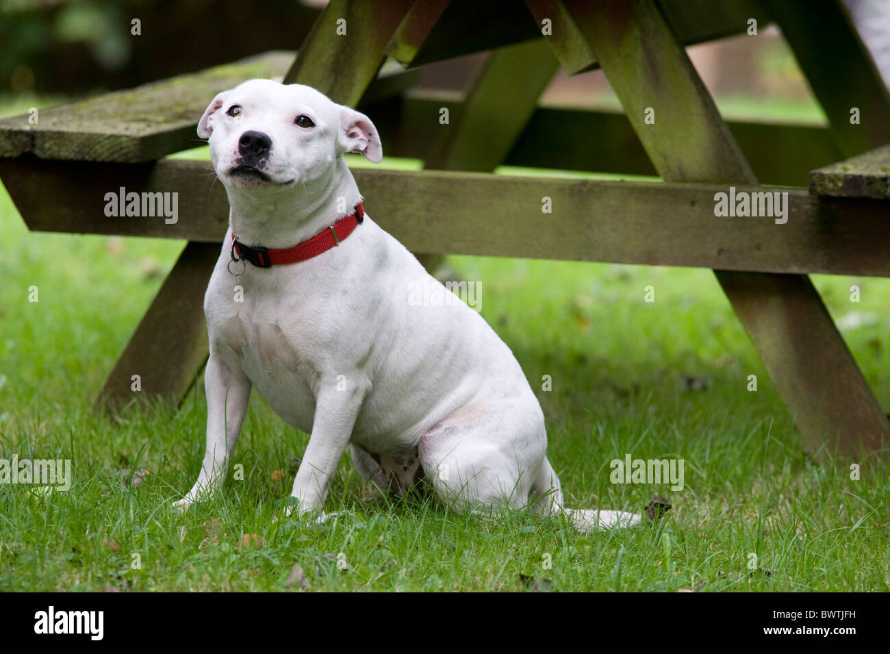 Staffordshire Bull Terrier Dog UK - Stock Image