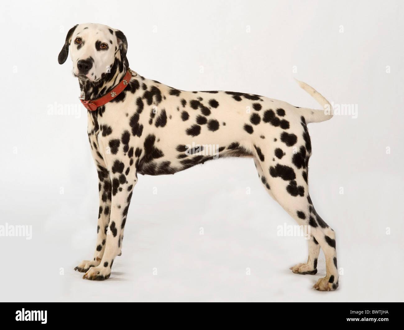Dalmatian Dog UK in studio - Stock Image