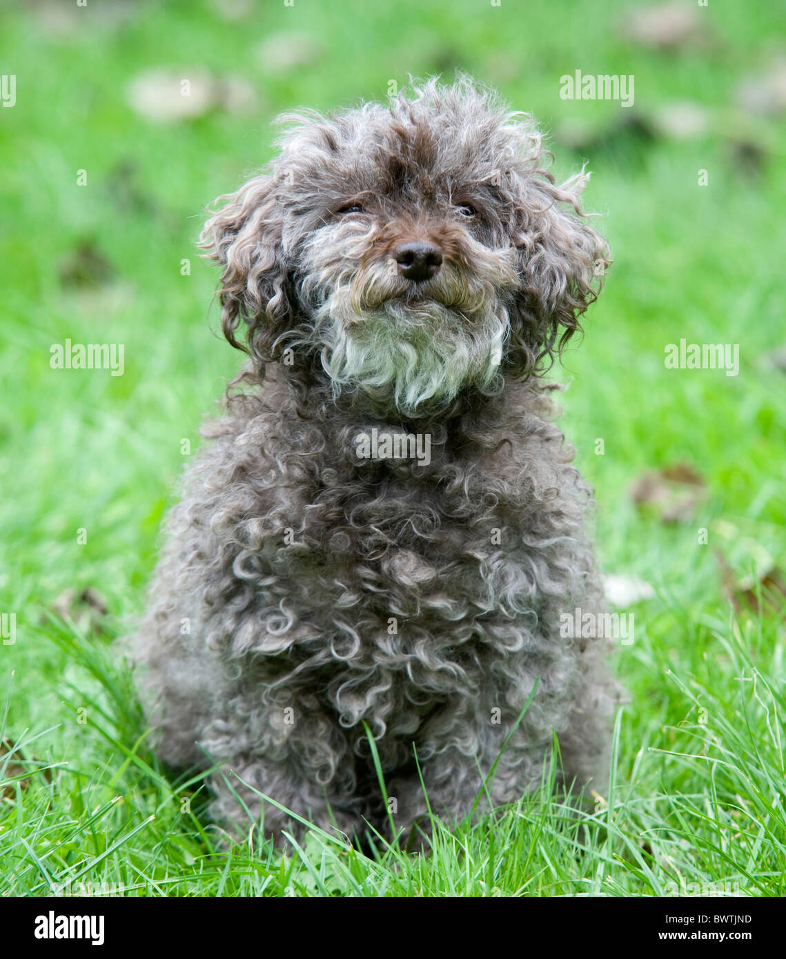 Teddy Bear Dog Shih Tzu Cross Bichon Frise Uk Stock Photo 33118329