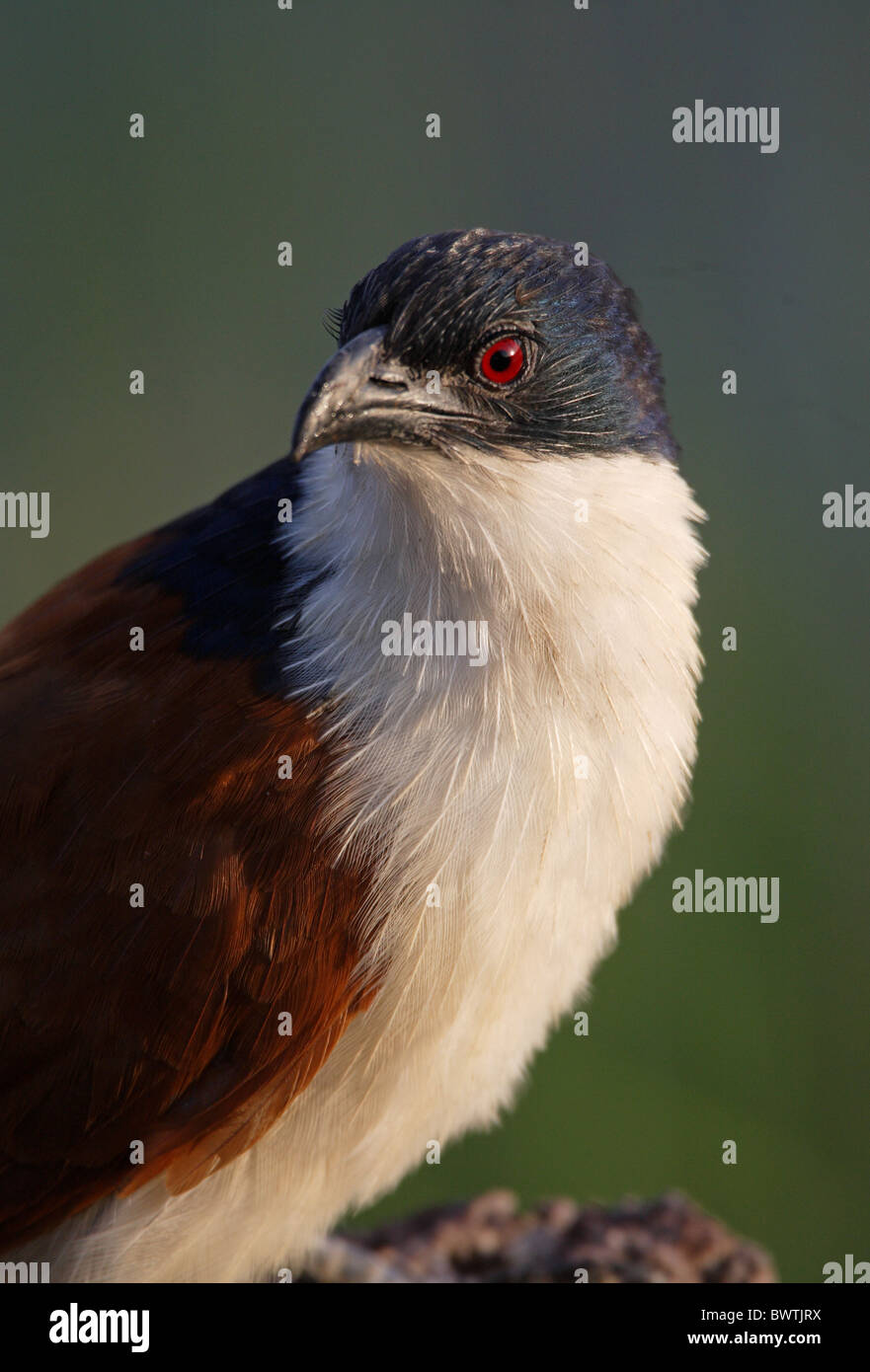Blue-headed Coucal (Centropus monachus) adult, close-up of head and neck, Ethiopia, april - Stock Image