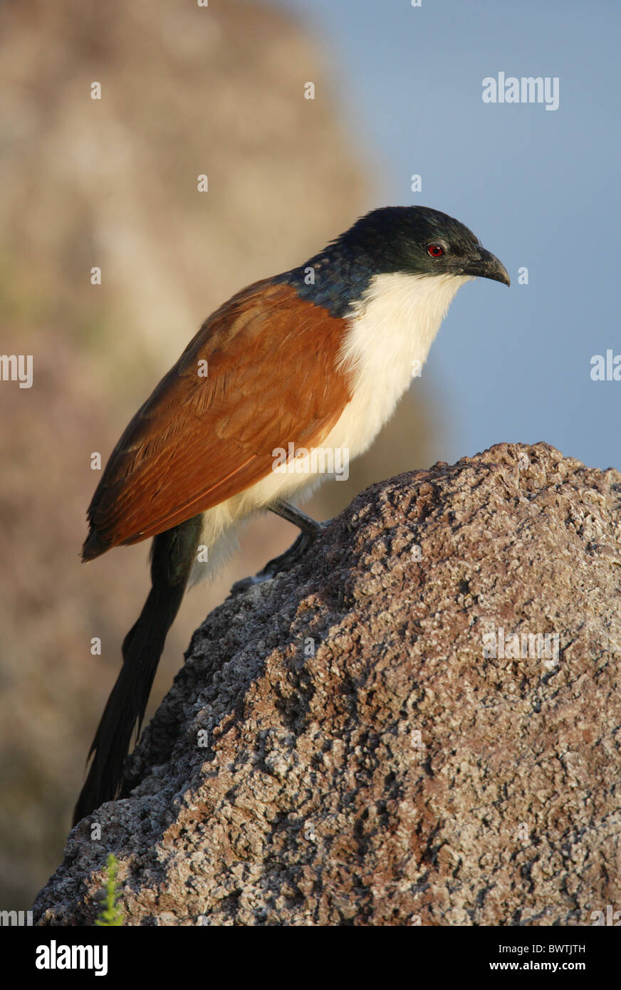 Blue-headed Coucal (Centropus monachus) adult, perched on rock, Ethiopia, april - Stock Image