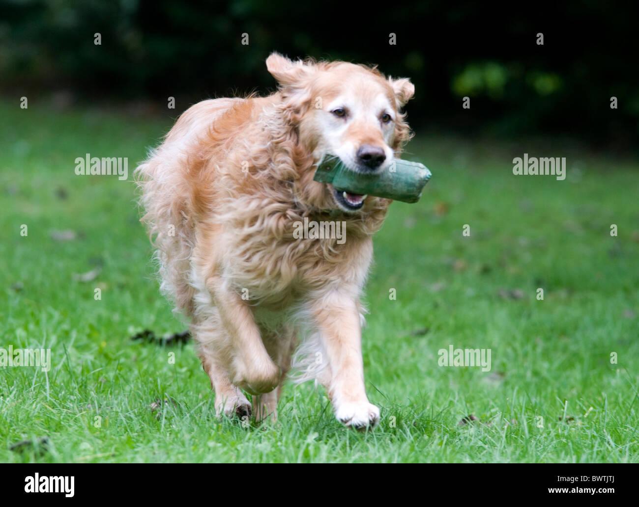 Golden Retriever Dog in garden UK Stock Photo