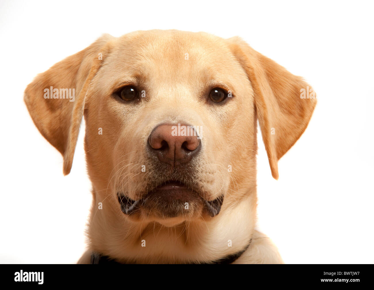 Labrador Retriever UK - Stock Image