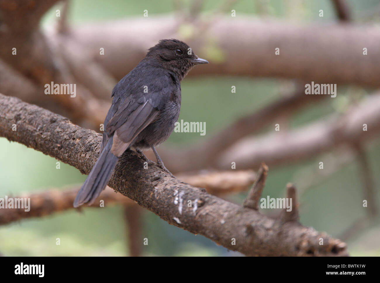 Northern Black-flycatcher (Melaenornis edolioides) adult, perched on branch, Ethiopia, april - Stock Image