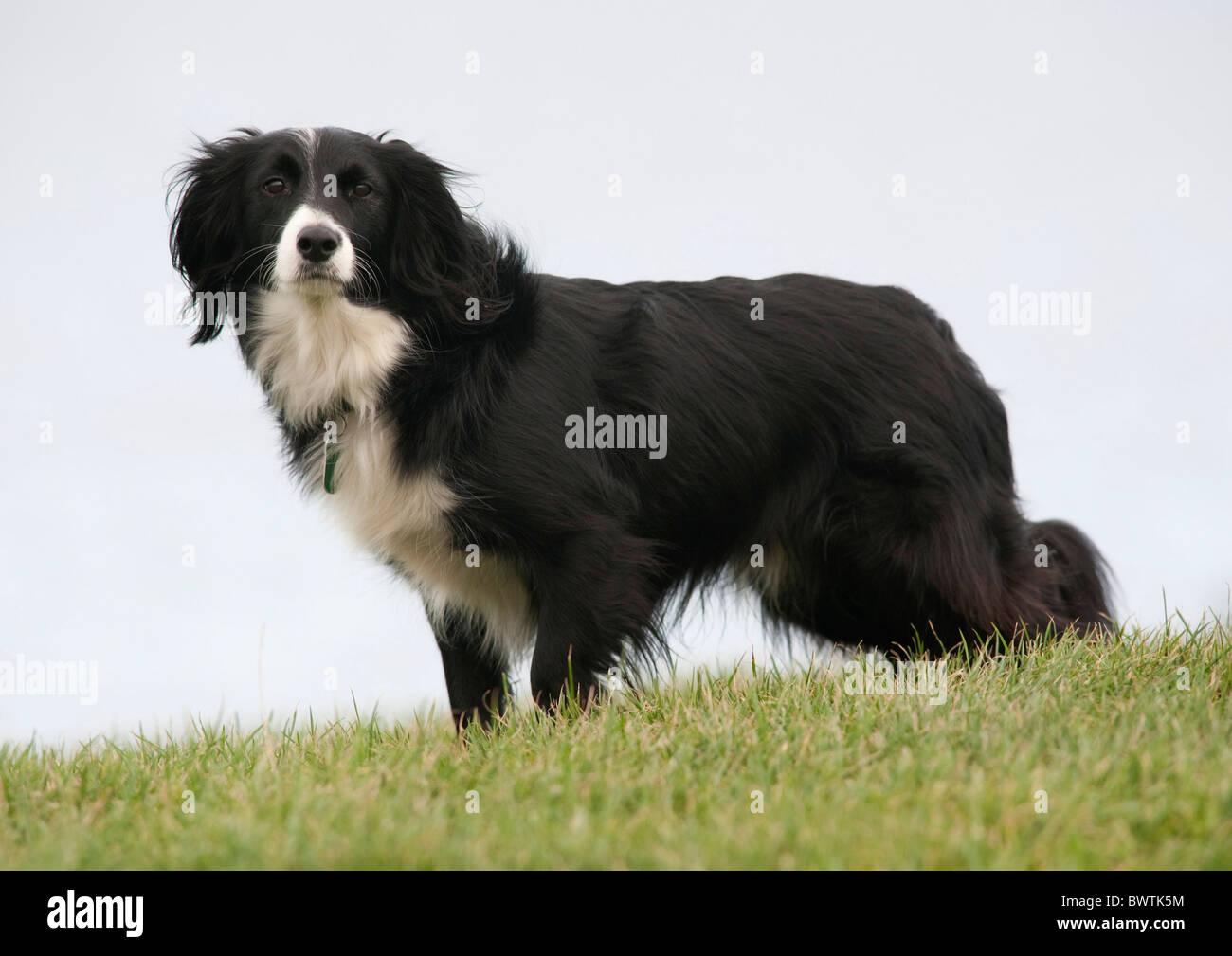 Collie Crossbred Dog UK - Stock Image