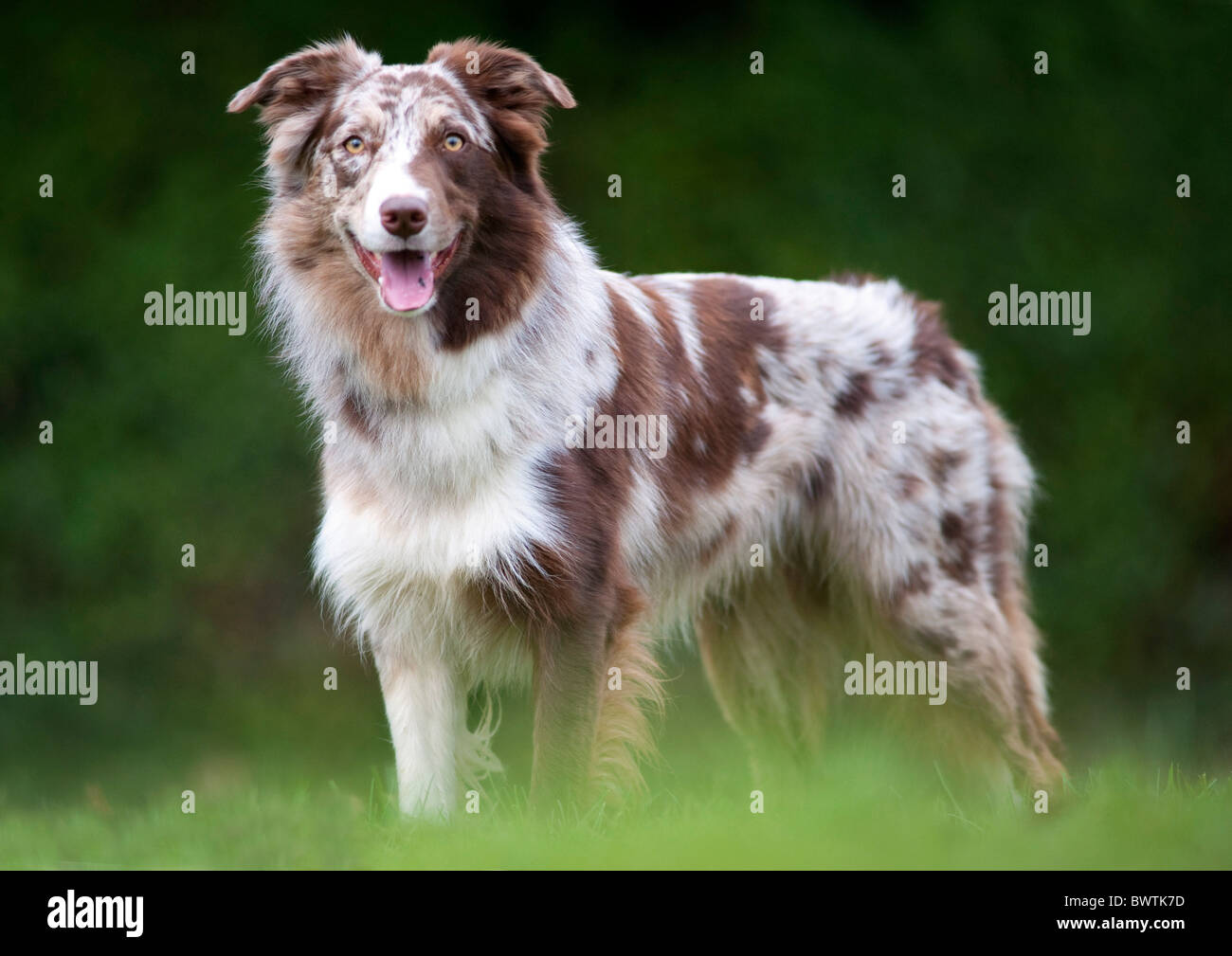 Red Merle Border Collie Stock Photos Red Merle Border Collie Stock