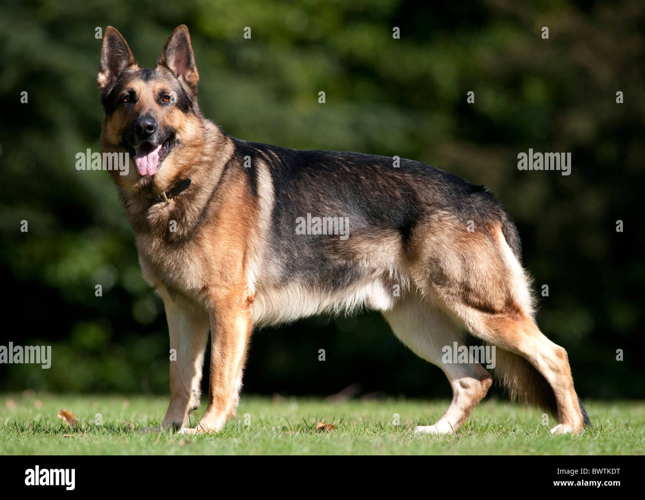 German Shepherd Dog Alsatian Standing in park UK Stock Photo