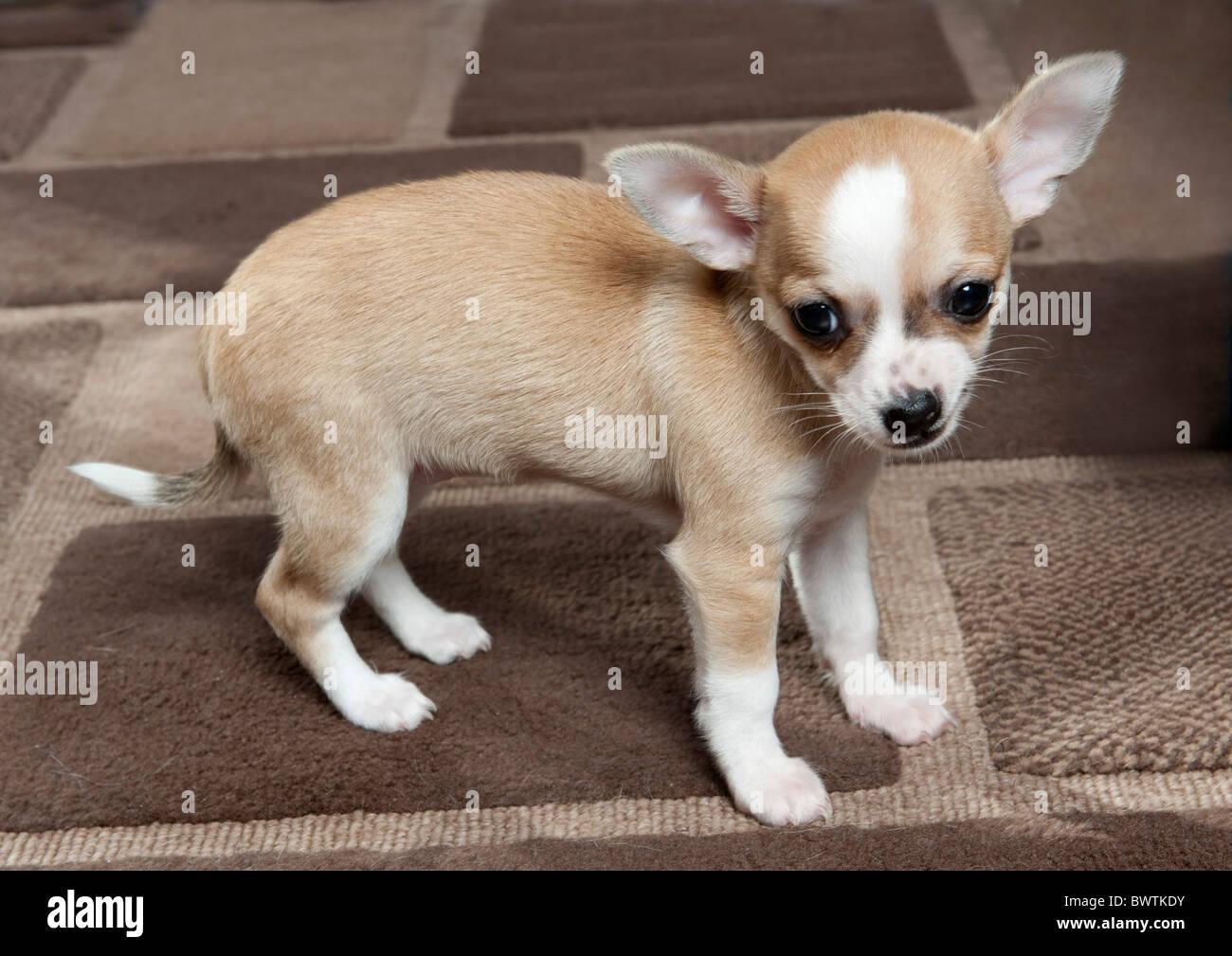 Chihuahua Dog Puppy UK - Stock Image