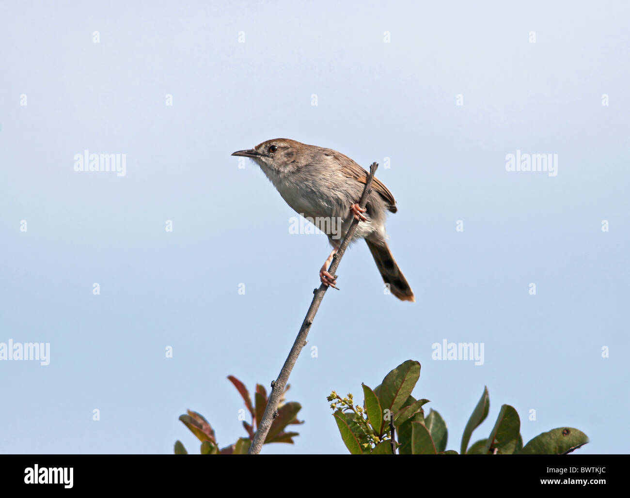 Red-headed Cisticola (Cisticola subruficapillus) adult, perched on twig, Western Cape, South Africa, august - Stock Image