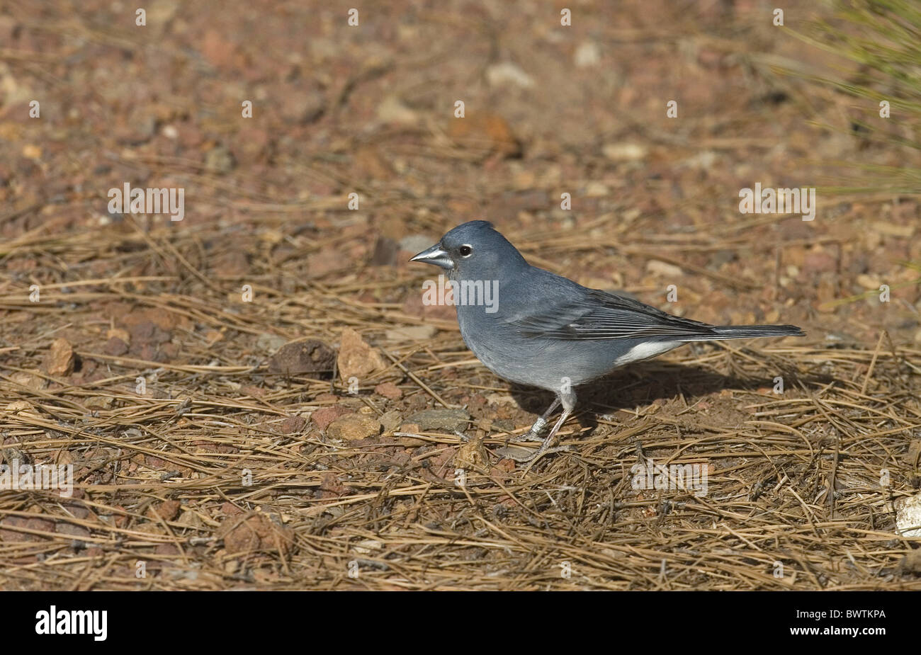Blue Chaffinch (Fringilla teydea) adult male, standing on ground, Tenerife, Canary Islands - Stock Image