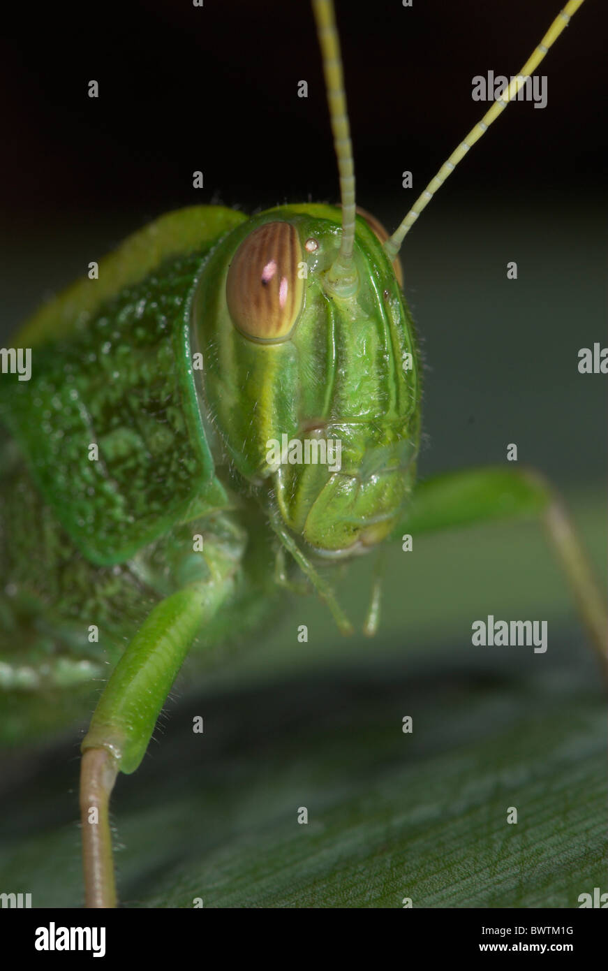 Jungle Grasshopper Orthoptera sp Thailand - Stock Image
