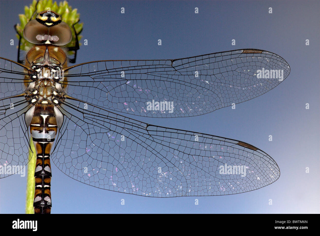 Dragonfly Common aeshna Aeshna juncea UK Stock Photo