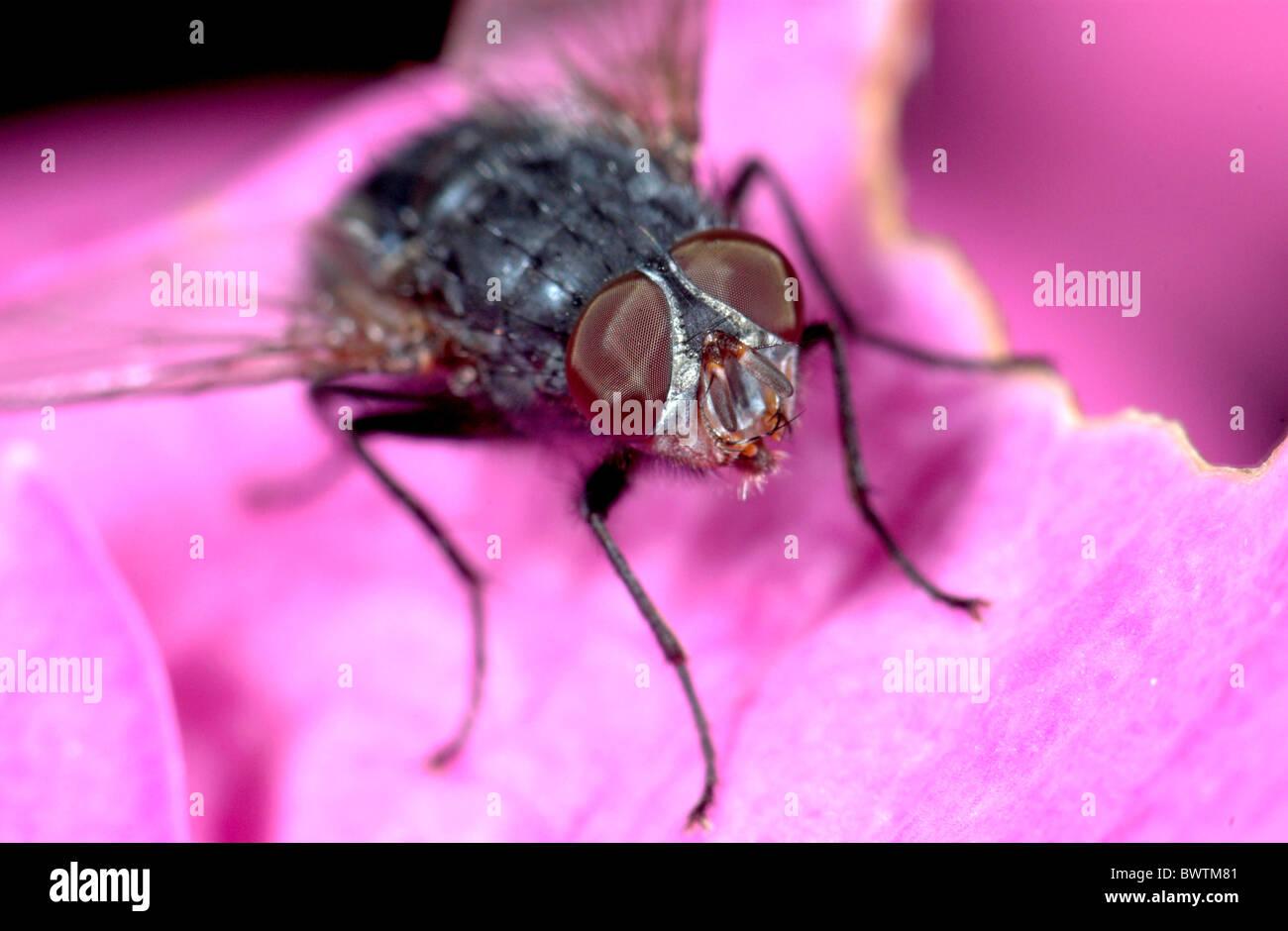 Greenbottle Fly Lucilia caesar UK - Stock Image