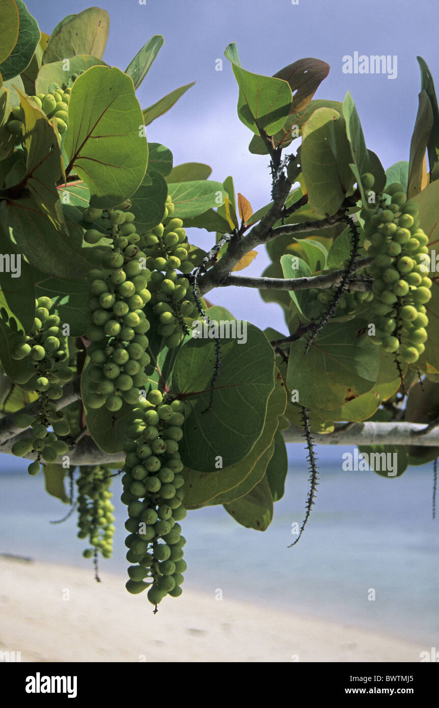 how to grow sea grapes